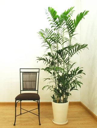 indoor-bamboo-palm-tree-chamaedorea-seifrizii-floor-standing-palm-plantaestore.com-web-02